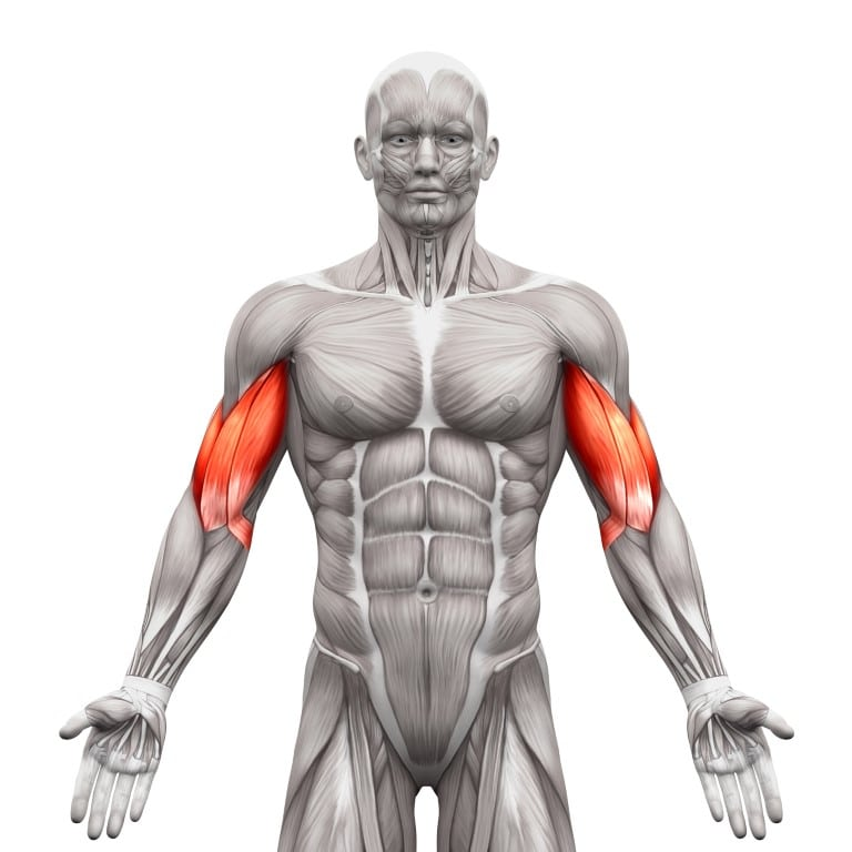 muscle du biceps