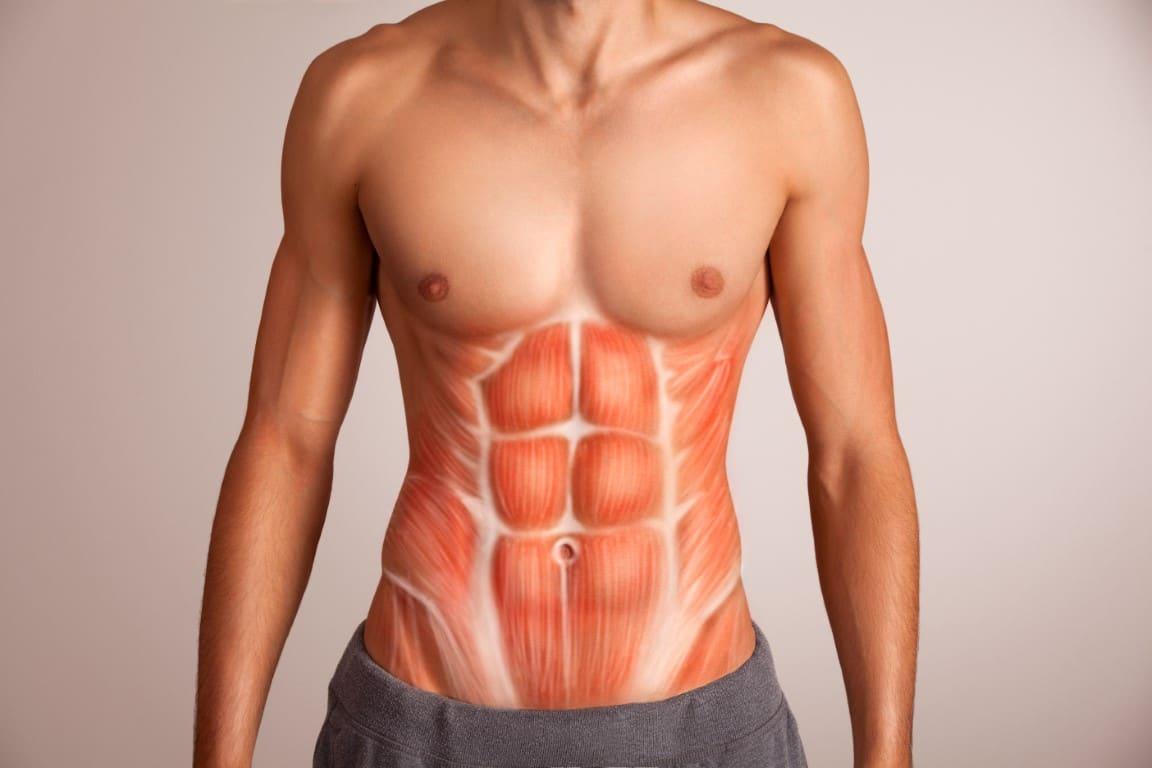 muscle du bas du ventre